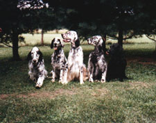 English Setter - 4 in yard