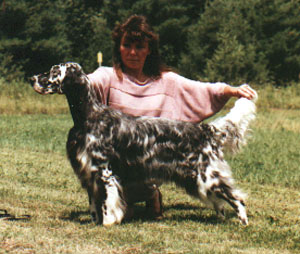 English Setter - Gold Rush Alliance